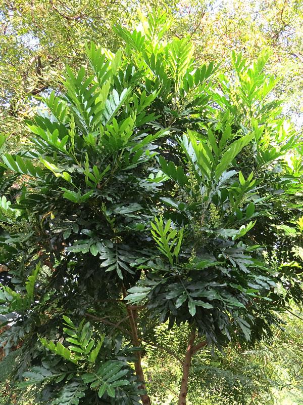Japanese Fern Tree Filicium Decipiens Urban Tropicals