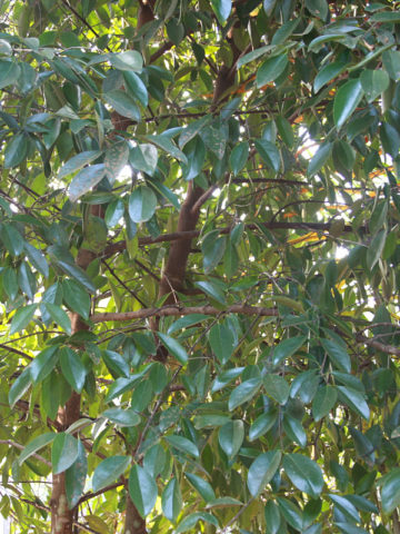 Malabar Tamarind Tree Garcinia Cambogia Urban Tropicals