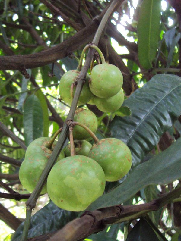 Gamboge Fruit Tree (garcinia xanthochymus)