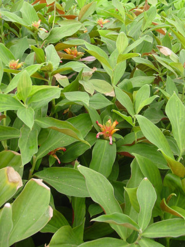 Cururbractertus Green Mountain Ginger Plant (costus sp) #GCO-CGM