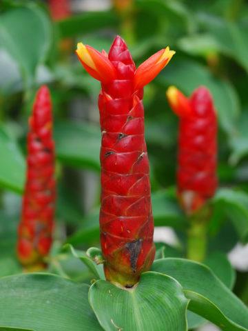 Spictus Ginger Plant (costus sp) #GCO-SPI