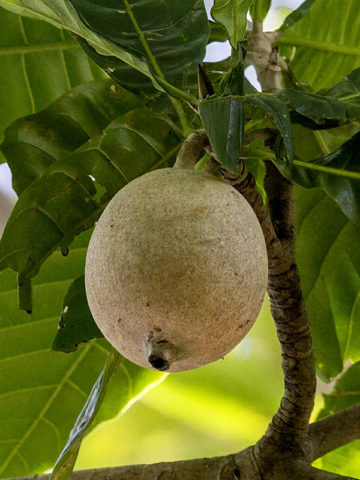 Marmalade-box Guianas Tree (genipa americana) #GEN-AME