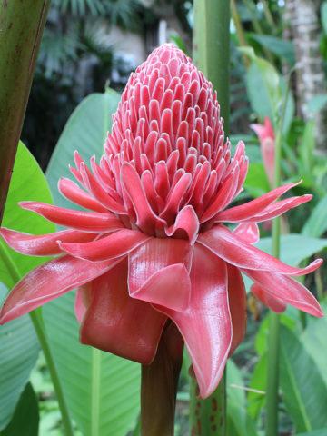 Borneo Pink Torch Ginger (etlingera elatior) #GET-BOR