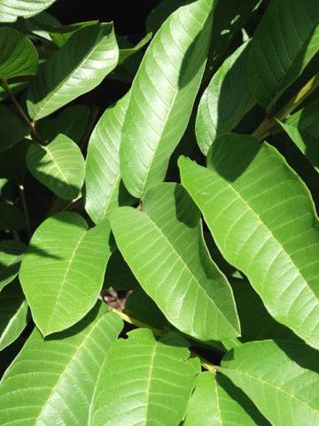 Amrood White Guava Tree (psidium guajava) #GUA-AWG