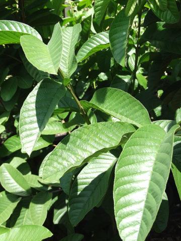 Bestonia Hardy White Guava Tree (psidium guajava) #GUA-BES