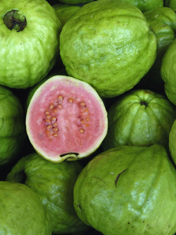 Barbie Pink Large Guava Tree (psidium guajava) #GUA-BPF