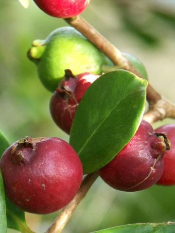Red Strawberry Guava Tree (psidium littorale) #GUA-CRE