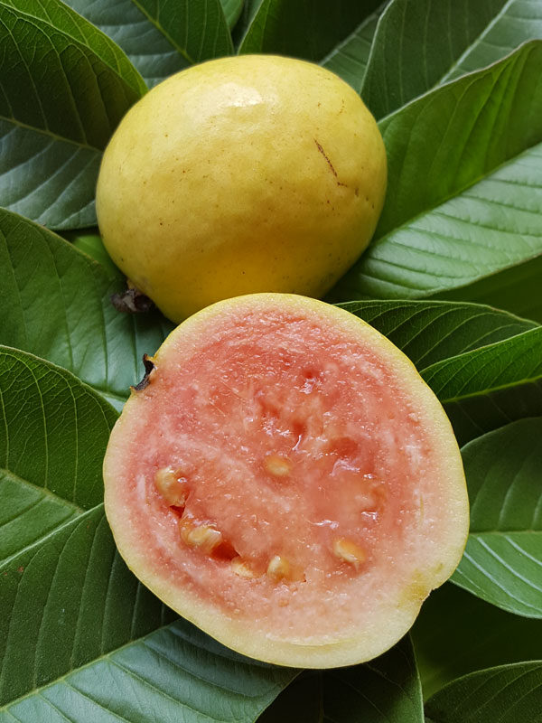 Excalibur Pink Guava Tree (psidium guajava)