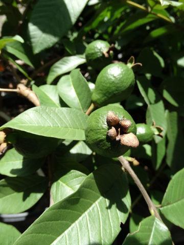 Excalibur Pink Guava Tree (psidium guajava) #GUA-EXP