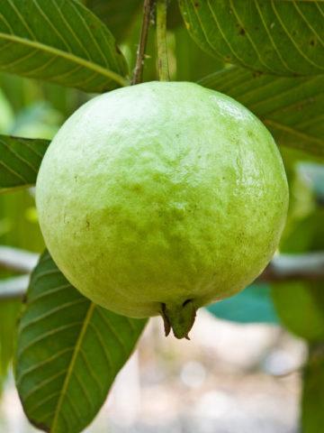Giant Peruvian White Guava Tree (psidium guajava) #GUA-GPW