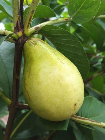 Lynda White Pear Guava Tree (psidium guajava) #GUA-LYW
