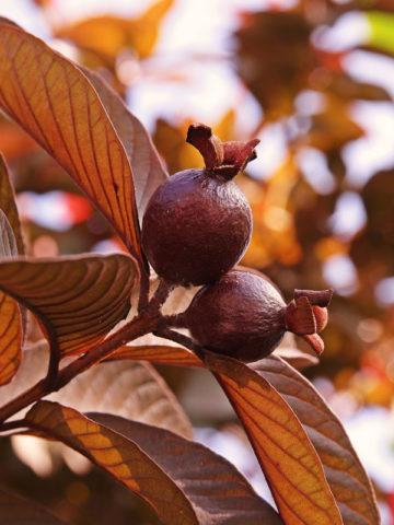 Malaysian Red Guava Tree (psidium guajava) #GUA-MIR