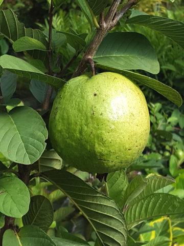 Vietnamese (oi song) Guava Tree (psidium guajava) #GUA-VIE
