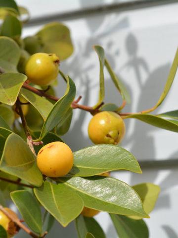 Lemon Guava Tree (psidium littorale) #GUA-WHI