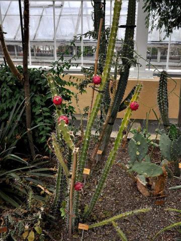 Giant Red Dragon Apple Cactus (harrisia bonplandii) #HAR-BON