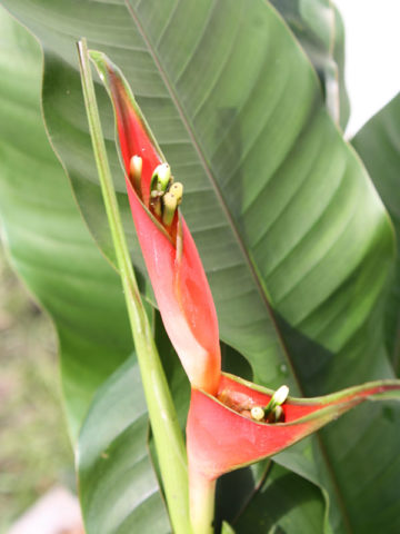 Upright Dwarf Jamaican Lobster Claw Plant (heliconia stricta) #HEL-UDJ