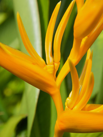 Golden Swan Pendant Lobster Claw Plant (heliconia marginata) #HEL-UGT