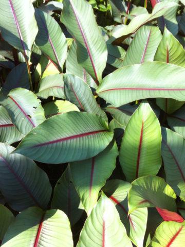 Red Leaf Rojo Lobster Claw Plant (heliconia sharonii) #HEL-USR