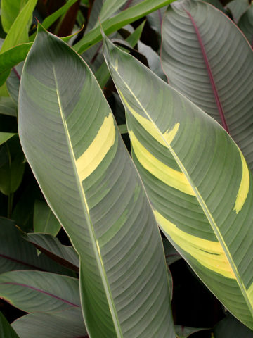Golden Giant Variegated Lobster Claw Plant (heliconia thai hyb.) #HEV-UGO