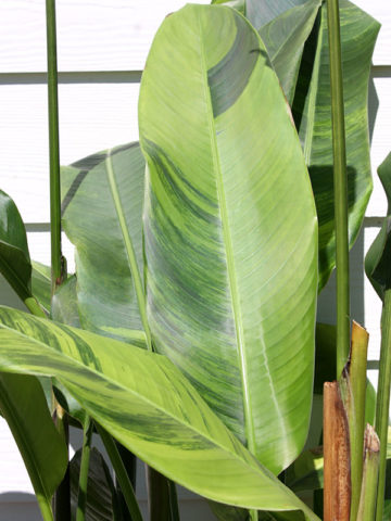 Lime Leaf Variegated Red Torch Lobster Claw Plant (heliconia thai hyb.) #HEV-UGR