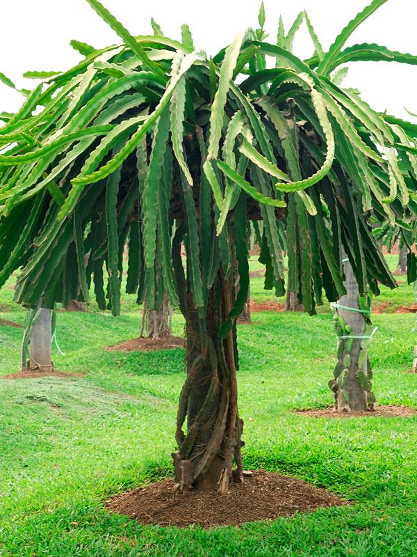 Bruni Green Dragon Fruit Cactus Hylocereus Stenopterus Urban