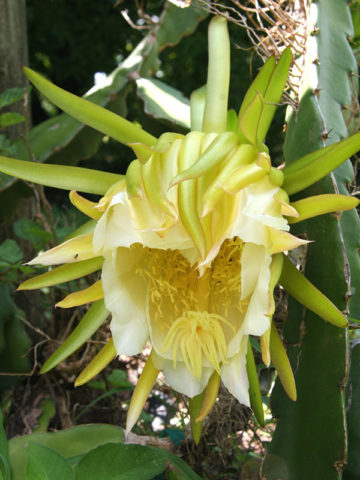 Dragon Fruit Flower #HYL-Characteristics