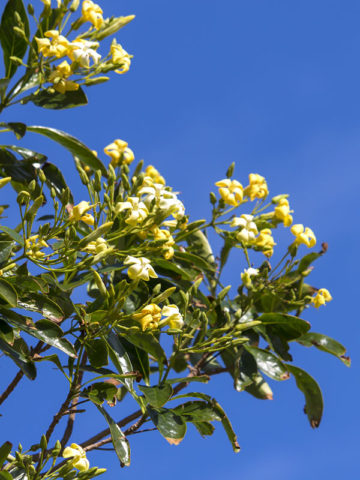 Australlian Frangipani Tree (hymenosporum flavum) #HYM-FLA