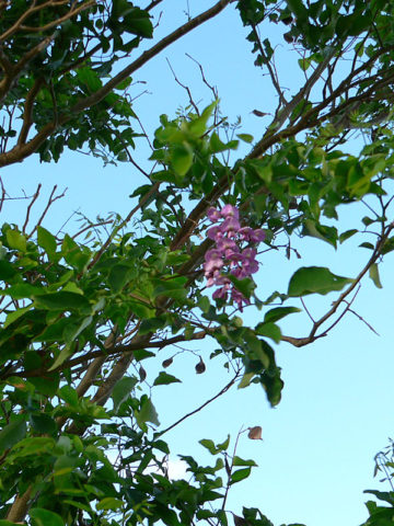 Fragrant Lilac Tree (lonchocarpus violaceus) #LON-VIO