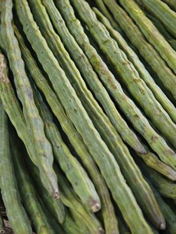 Miracle Drumstick Tree (moringa oleifera) #MOG-OLE