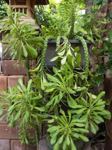 Giant Snake Skin Plant (monadenium ritchei) #MON-GIS