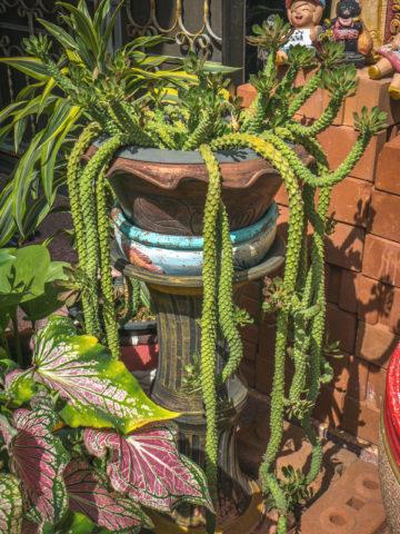 MGiant Snake Skin Plant (monadenium ritchei) #MON-GIS