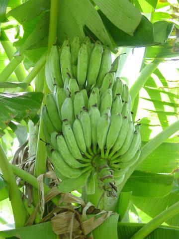 Acuminata Wild Banana Tree (musa acuminata) #MUS-ACU