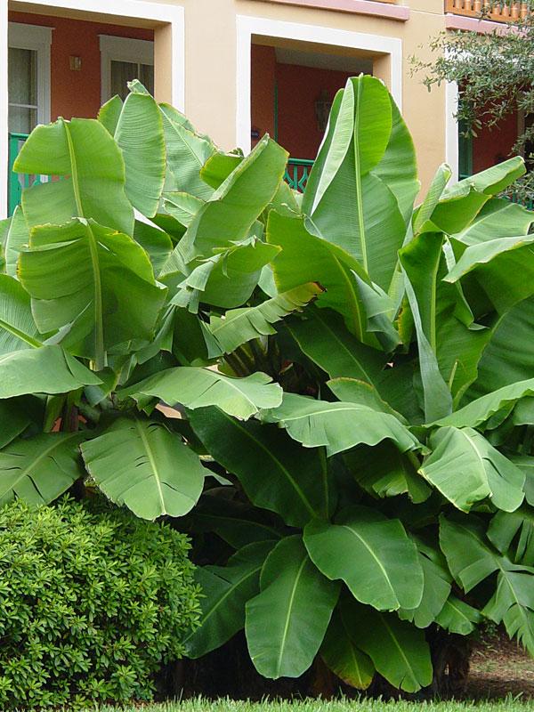 Dwarf Cavendish Banana Tree Musa Sp Urban Tropicals