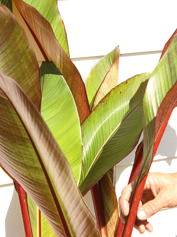 red leaf abyssinian banana tree  ensete ventricosum