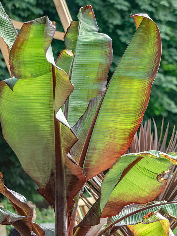 Red Leaf Abyssinian Banana Tree Ensete Ventricosum Urban Tropicals