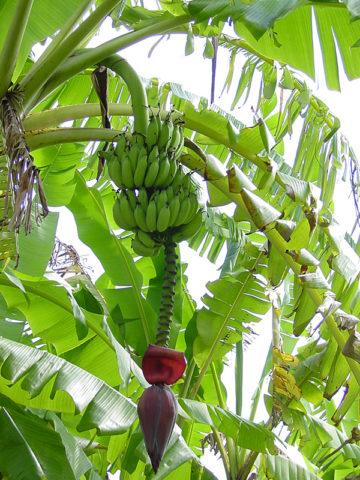 African Giant Banana Tree (musa kandarian) #MUS-KAN
