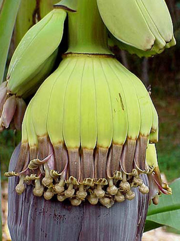 Hands and Fingers Banana Tree (musa sp) #MUS-PHA