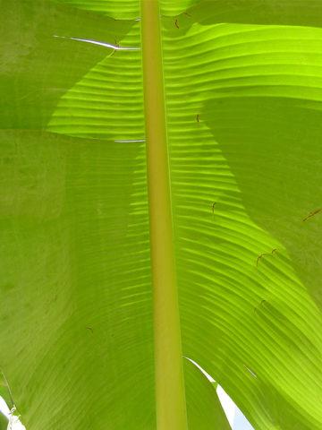25 Foot Giant Banana Tree (musa saba) #MUS-SAB