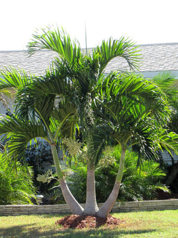 Multi Plant Pot Christmas Palm Tree Adonidia Merrillii