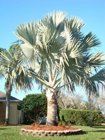 Xl Bismarck Madagascar Palm Tree Bismarckia Nobilis