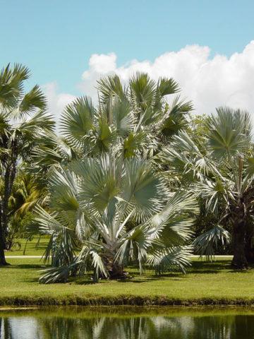 Bismarck Madagascar Palm Tree (bismarckia nobilis) #PA-B-NOBI