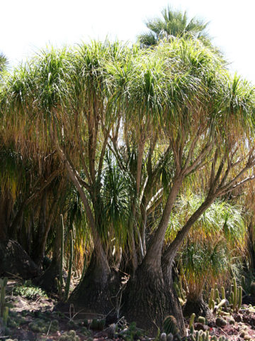 Ponytail Palm Tree (beaucarnea recurvata) #PA-B-RECU