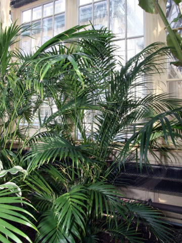 Cascade Cat Palm Tree (chamaedorea cataractarum) #PA-C-CATA