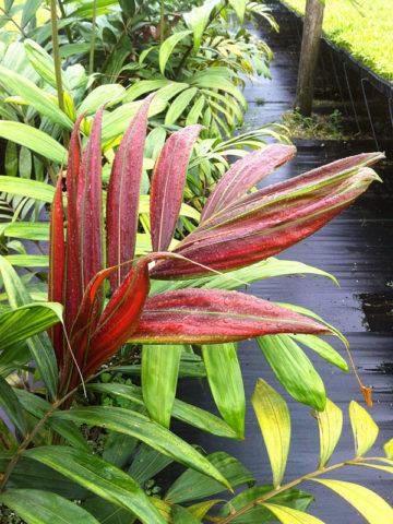 Flame Thrower Palm Tree (chambeyronia macrocarpa) #PA-C-MACR