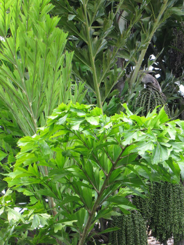 Clumping Fish Tail Palm Tree (caryota mitis) #PA-C-MITI