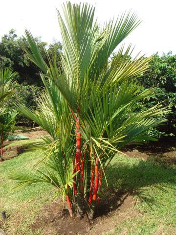 Lg Red Lipstick Palm Tree Cyrtostachys Renda Urban