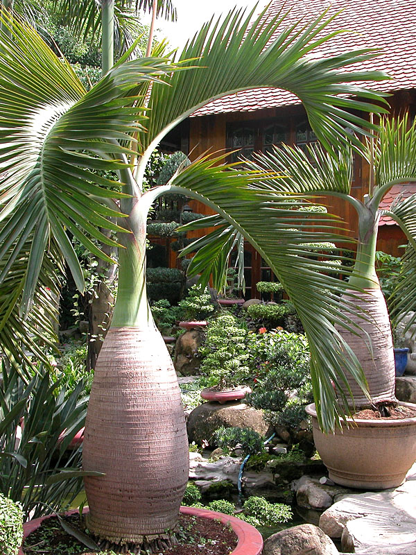 Bottle Palm Tree Hyophorbe Lagenicaulis Urban Tropicals