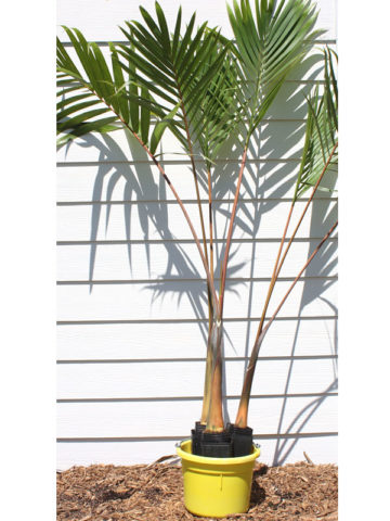 Bottle Palm Tree (hyophorbe lagenicaulis) #PA-H-LAGE
