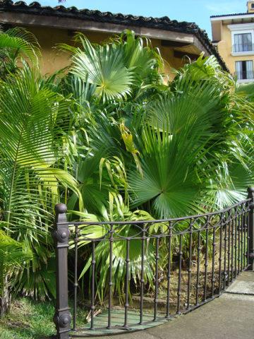 Chinese Fan Palm Tree (livistona chinensis) #PA-L-CHIN