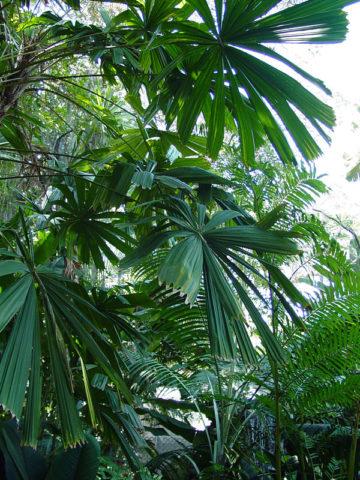 Australian Fan Palm Tree (licuala ramsayi) #PA-L-RAMS